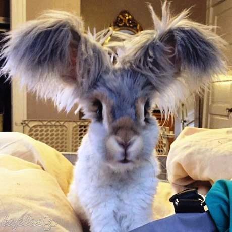 عکس خرگوشی با گوش های عجیب