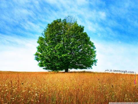 درخت تنومند در مزرعه