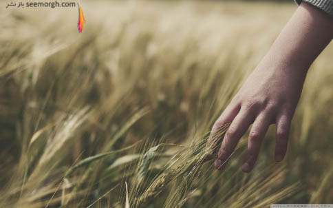 لمس گندمزار