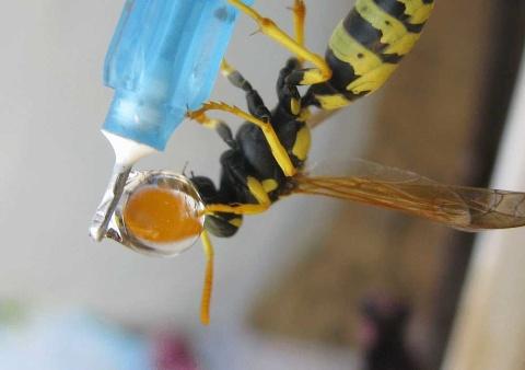 زنبور عسل درحال آب خوردن 1