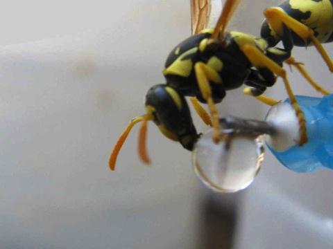 زنبور عسل درحال آب خوردن 2