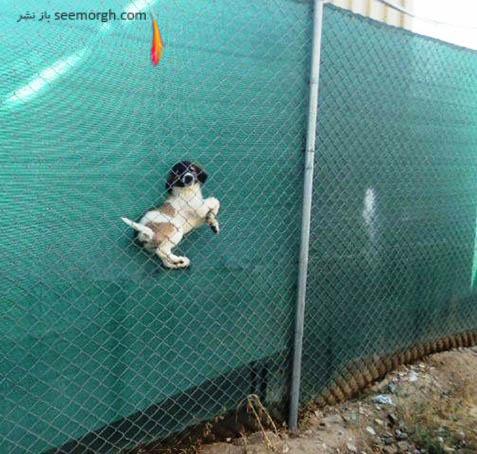 گیر کردن میان دیوار و حصار توری