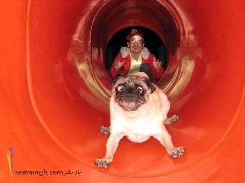 چهره خنده دار سگ هنگام سرسره بازی