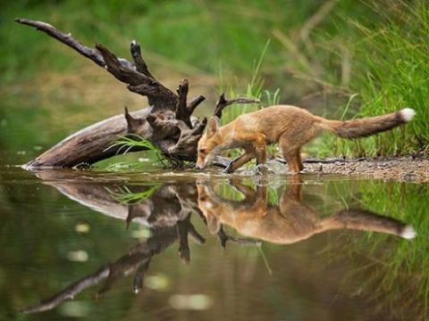روباه درحال نوشیدن آب