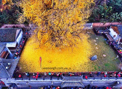 ریزش برگ های زرد درخت جینکو
