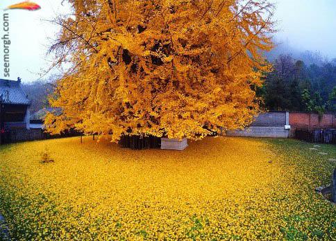 درخت 1400 ساله جینکو