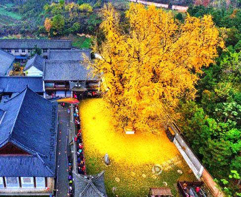 زرد شدن برگ های درخت جینکو