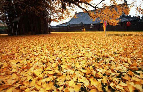 برگ های درخت ریخته شدن برروی زمین