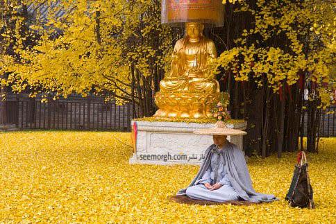 معبد بودائیان تحت تاثیر حضور درخت جینکو