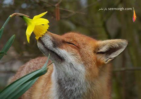 علاقه روباه به گل