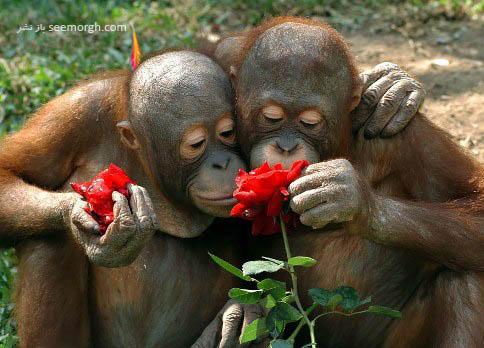 علاقه میمون ها به گل
