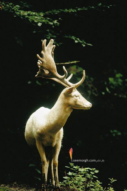 گوزن سفید رنگ در جنگل های سوئیس سال 1973
