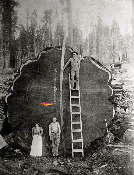 قطع کردن درخت غول پیکر در کالیفرنیا در سال 1892