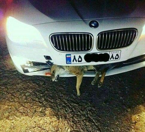 تصادف روباه با يک بي ام و bmw
