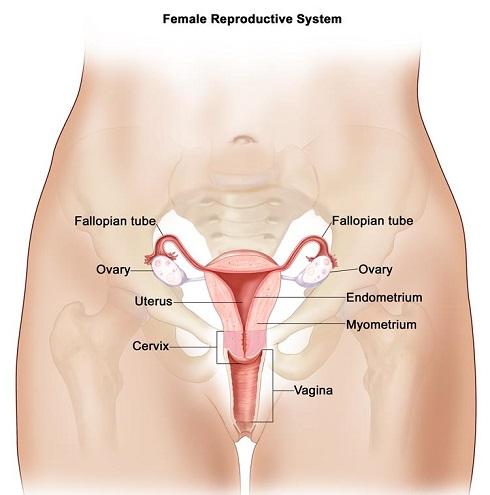 ساختار رحم و سیستم باروری در زنان