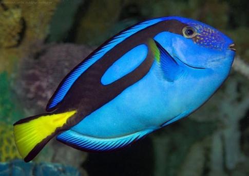 ماهی بلو تانگ