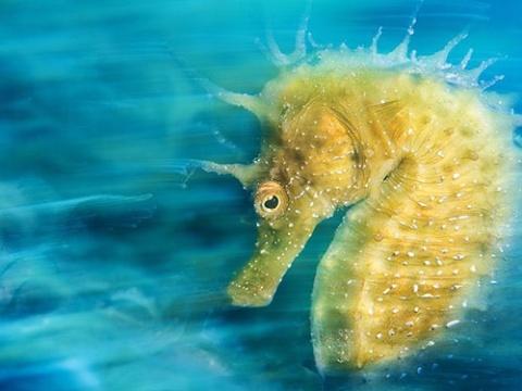 اسب دریایی نر که باردار می شود