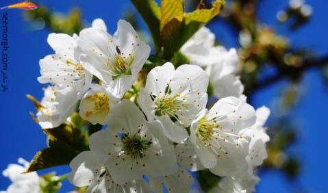 شکوفه بهاری درختان