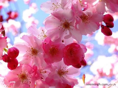 شکوفه های زیبای بهاری