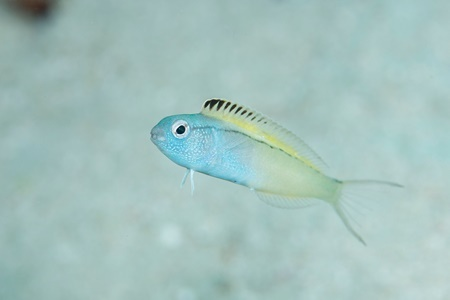 نیش این ماهی هیچ دردی ندارد