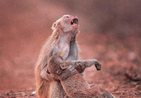 بی تابی میمون مادر بخاطر فرزندش