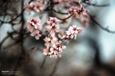 شکوفه های زیبای بهاری 6