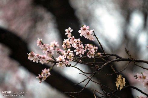 شکوفه های زیبای بهاری 1