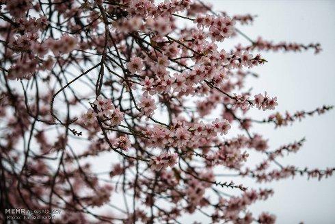 شکوفه های زیبای بهاری 5