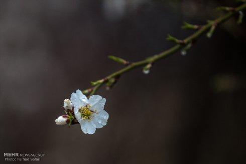 شکوفه های زیبای بهاری 4