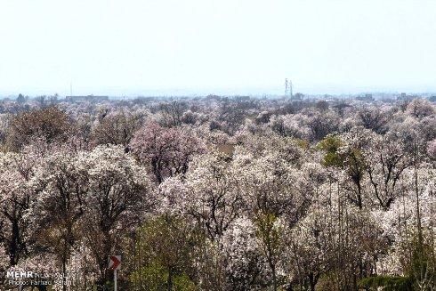 شکوفه های زیبای بهاری 3
