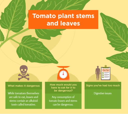 Tomato plant stems and leaves.png